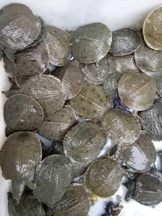 中華鱉.水魚苗